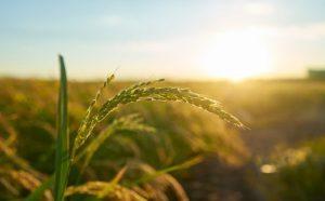 חיטה צומחת בשדה